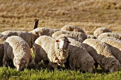 australische-schapen